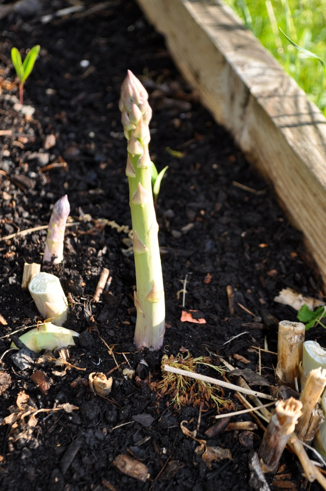 Asparagus 'Martha Washington'