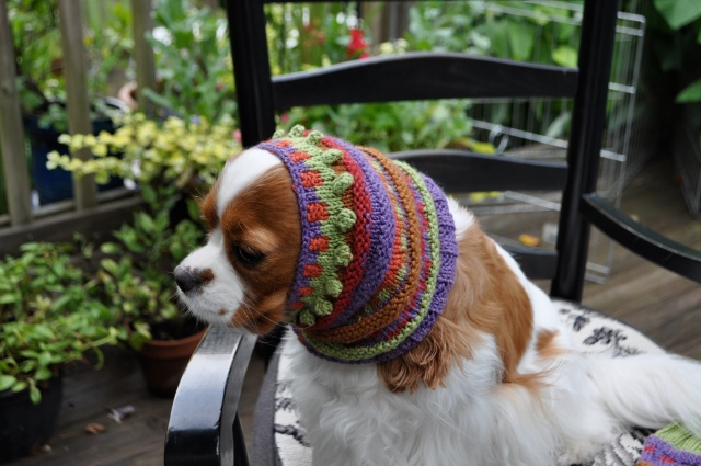 Cavalier King Charles with snood