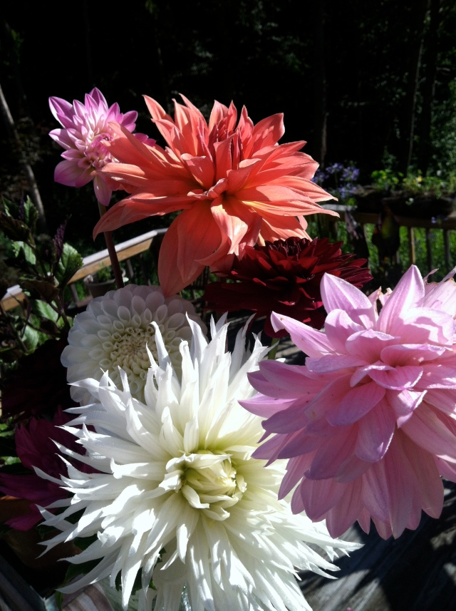 Dahlias picked in August