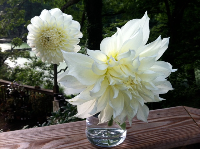 Dahlia 'Brookside Ball' and 'Snow Country'