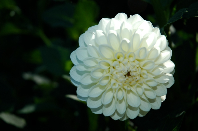Dahlia 'Brookside Ball'