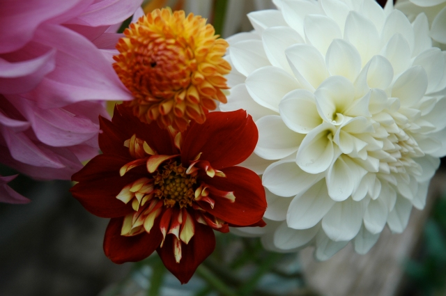 October's dahlias